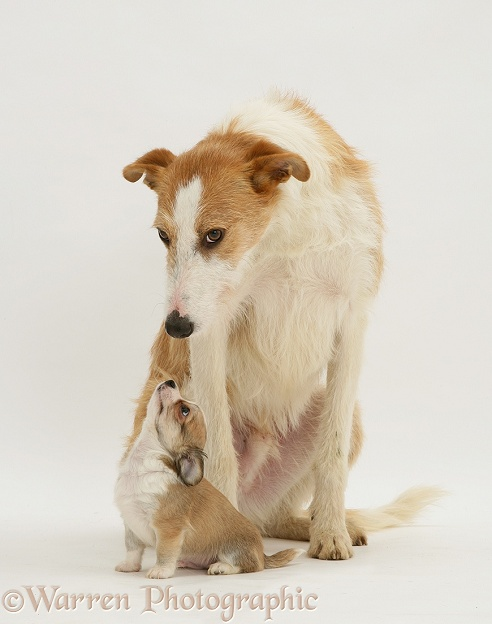 Lurcher Kipling and Chihuahua puppy, white background