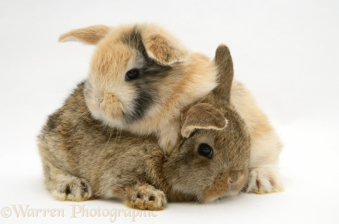 Baby sandy and agouti Lop rabbits, white background