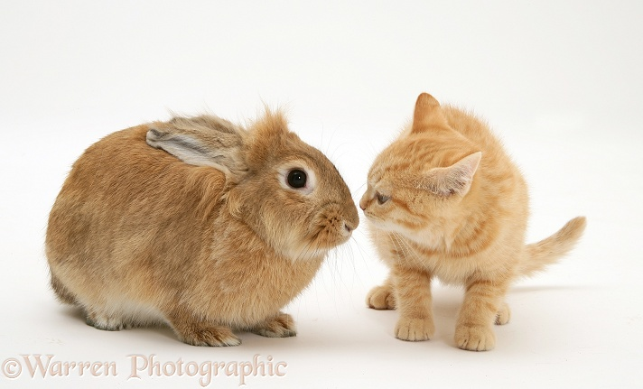 Ginger kitten with young sandy Lionhead-cross rabbit, white background