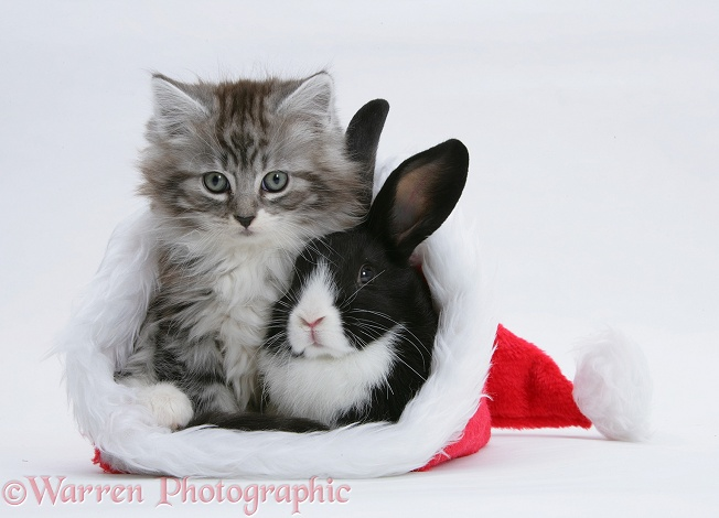 Maine Coon kitten, 8 weeks old, and baby Dutch x Lionhead rabbit in a Father Christmas hat, white background