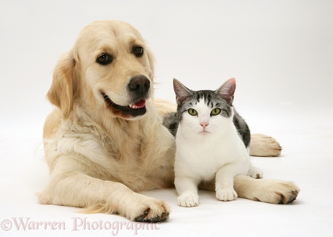 Silver-and-white cat, Clover, with Golden Retriever bitch, Lola, white background