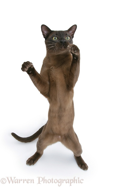 Burmese male cat standing up