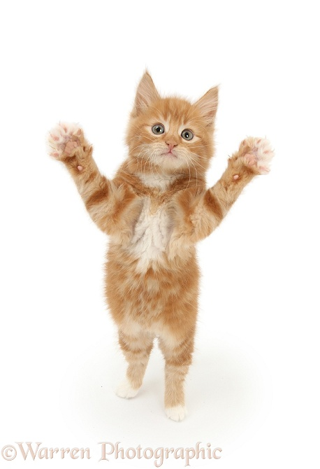 Ginger kitten, Butch, 7 weeks old, standing up and reaching out, white background