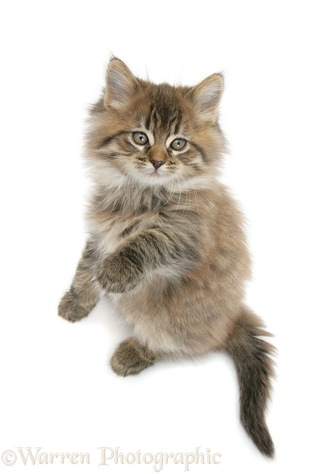 Maine Coon kitten, 8 weeks old, standing up, white background