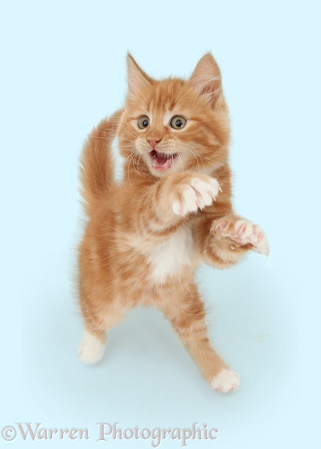 Ginger kitten dancing