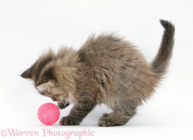 Maine Coon kitten, 8 weeks old, playing with a ball, white background