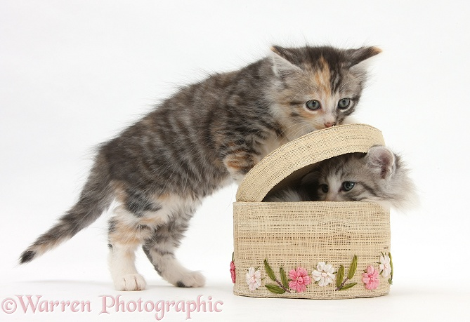 Maine Coon-cross kittens, 7 weeks old, playing with a basket, white background