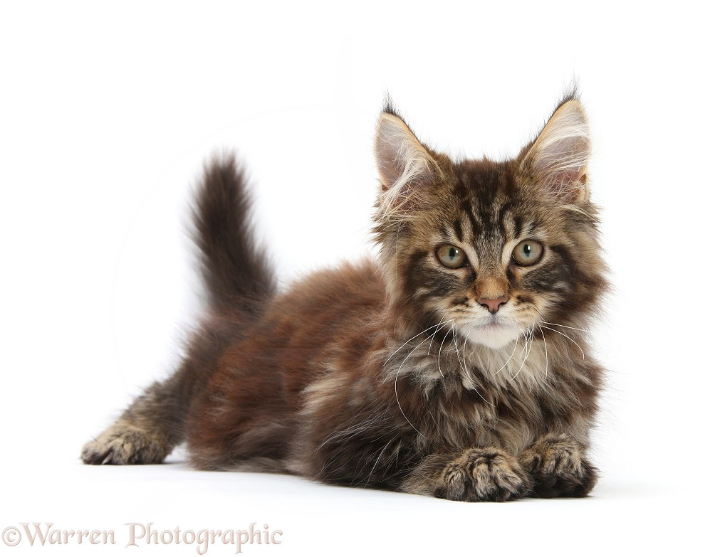 Tabby Maine Coon kitten, Logan, 12 weeks old, lying with head up, white background