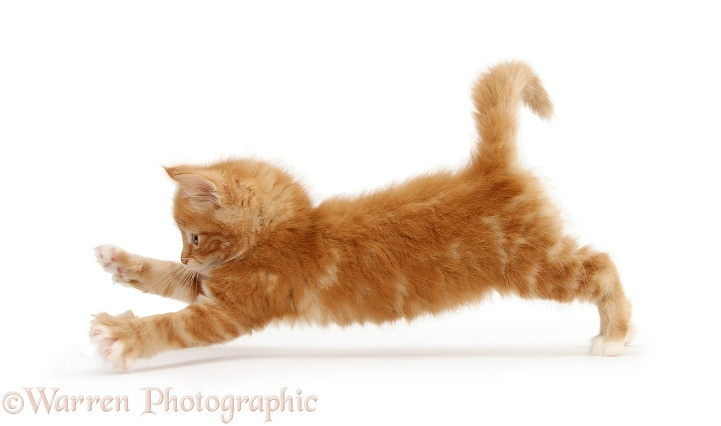 Ginger kitten, Butch, 7 weeks old, taking a flying leap, white background