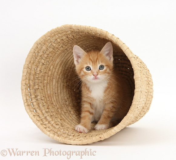 Ginger kitten, Tom, 7 weeks old, hiding in a raffia basket, white background