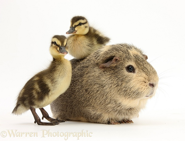 Guinea pig and Mallard ducklings, white background