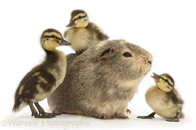 Guinea pig and three Mallard ducklings, white background