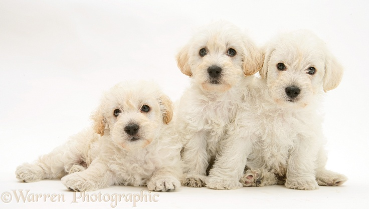 Three Woodle (West Highland White Terrier x Poodle) pups, white background