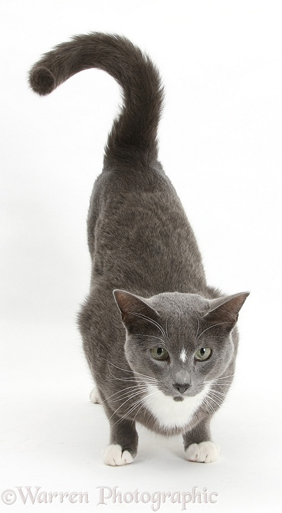 Blue-and-white Burmese-cross cat, Levi, crouching with bottom up, white background