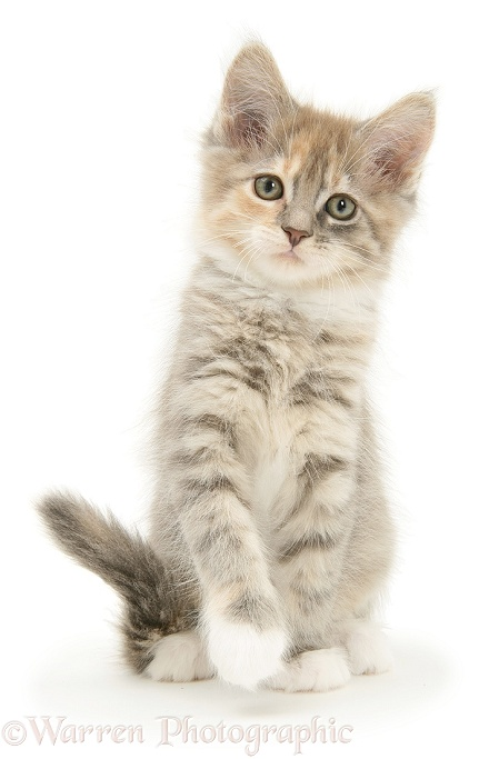 Tabby Maine Coon kitten with raised paw, white background