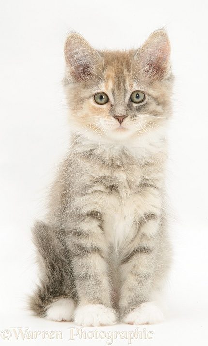Tabby Maine Coon kitten, white background