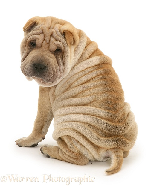 Shar-pei puppy, Beanie, looking over his shoulder, white background