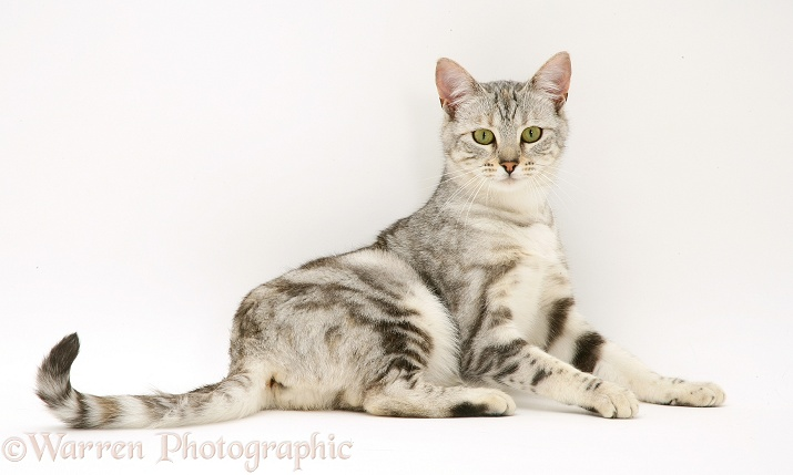 Young silver tabby cat, Joan, lying with head up, white background