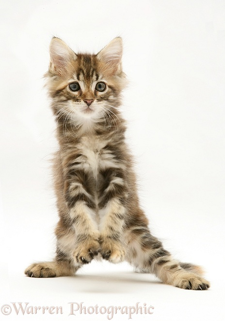 Tabby Maine Coon kitten dancing, white background