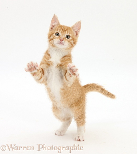 Ginger kitten, Tom, 10 weeks old, standing up and reaching out, white background