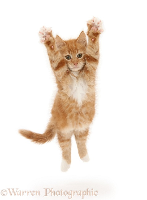 Ginger kitten, Butch, 10 weeks old, leaping with arms outstretched, white background