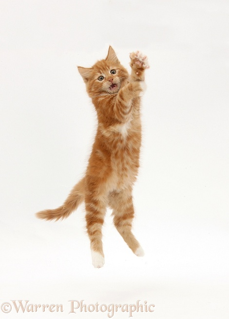 Ginger kitten, Butch, 10 weeks old, leaping up, white background