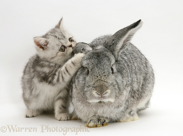 Silver Exotic kitten with silver Lop rabbit, white background