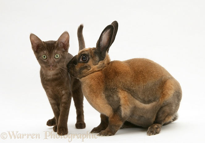 Brown Burmese-cross kitten with sooty-fawn Rex rabbit, white background