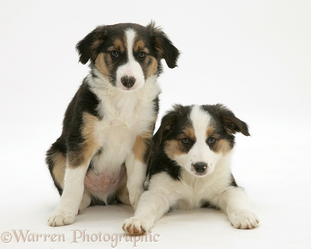 Tricolour Border Collie pups, brothers, white background