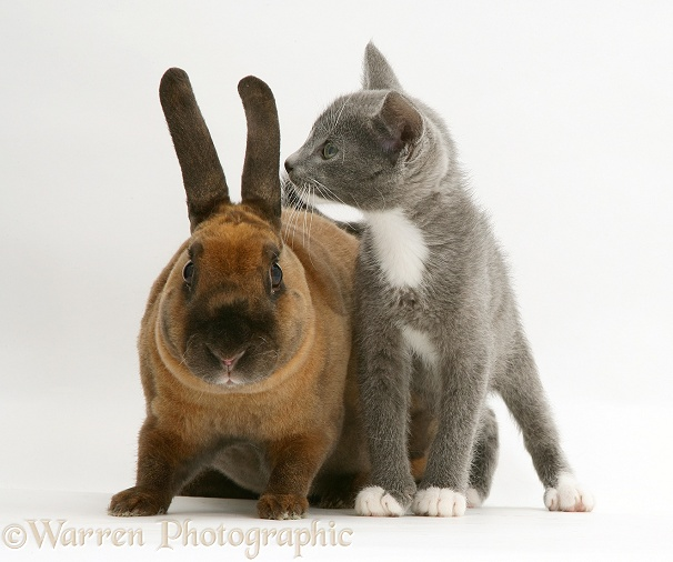 Blue-and-white Burmese-cross kitten, Levi, with Sandy Lop rabbit, white background