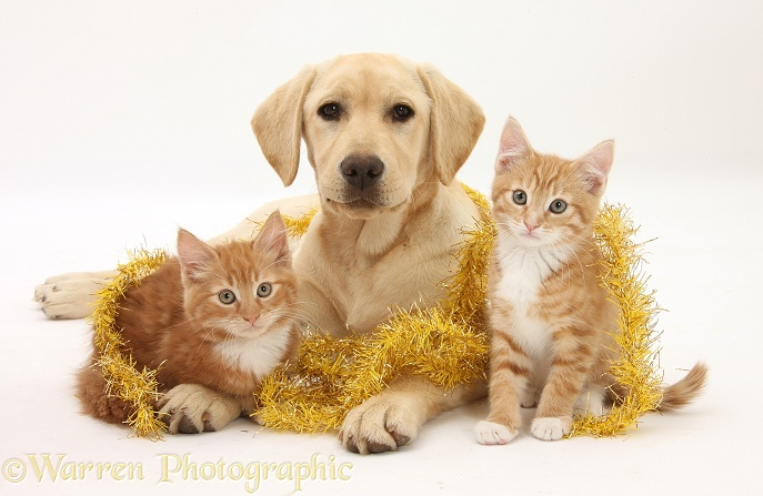 Ginger kittens, Tom and Butch, 10 weeks old, and Yellow Labrador pup with Christmas tinsel, white background