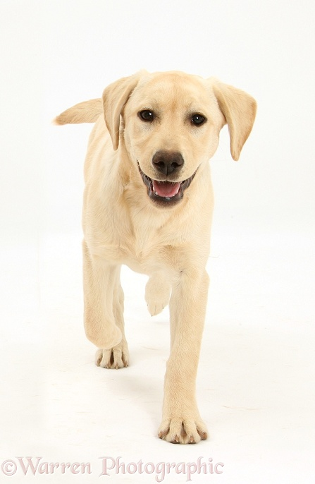 Yellow Labrador pup, 5 months old, running forward, white background