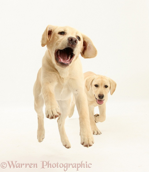 Yellow Labrador pups, 5 months old, leaping and running, white background