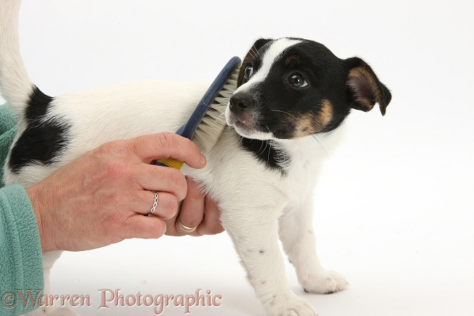 Grooming Jack Russell Terrier pup, Rubie, 9 weeks old, with a brush, white background