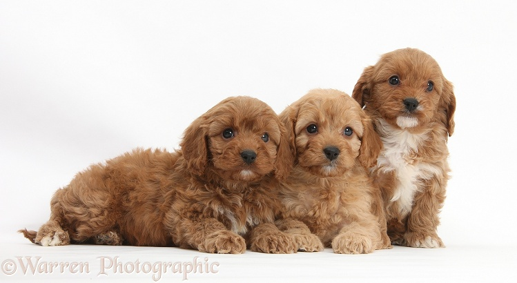 Three Cavapoo pups, 6 weeks old, white background