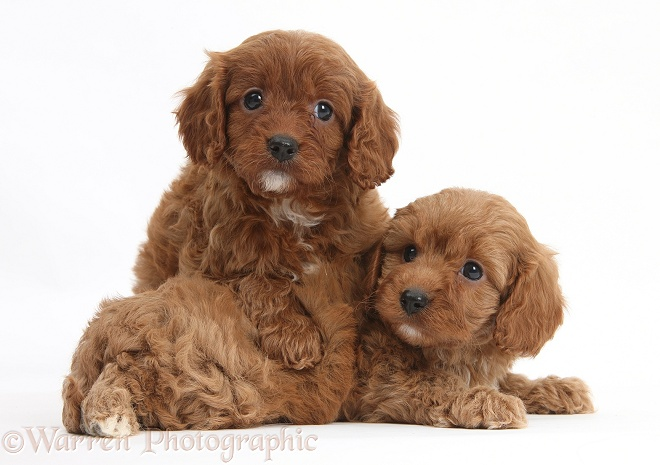 Cavapoo pups, 6 weeks old, white background