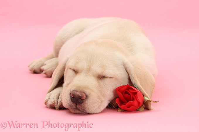 Yellow Labrador Retriever bitch pup, 10 weeks old, sleeping with a red rose