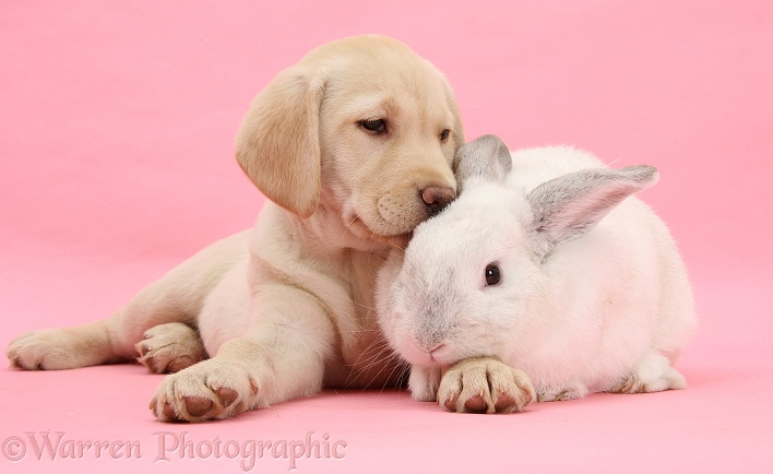 WP25382 Yellow Labrador Retriever pup  10 weeks old  and white rabbit White And Yellow Labrador Retriever