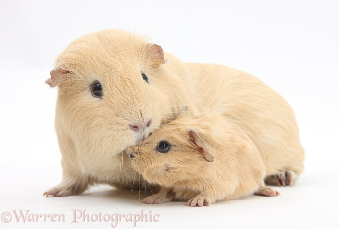 Yellow adult and baby Guinea pigs, white background