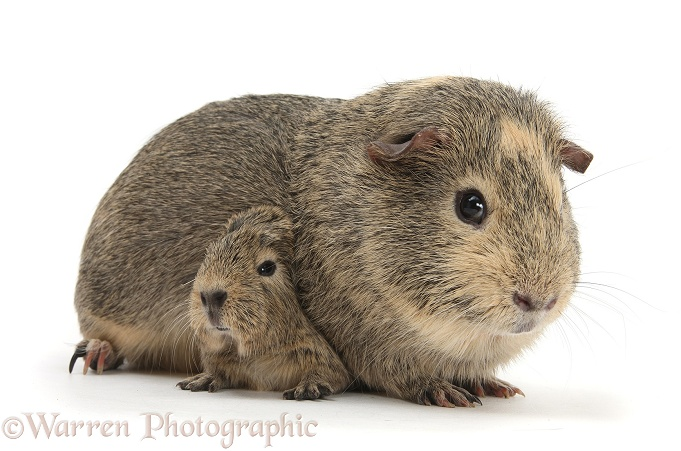 Yellow-agouti adult and baby Guinea pigs, white background