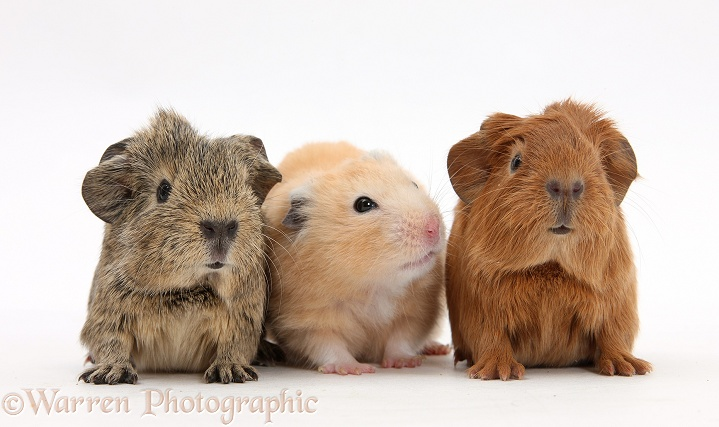 Baby Guinea pigs and Golden Hamster, white background
