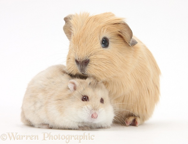 Baby Guinea pig and Russian Hamster, white background