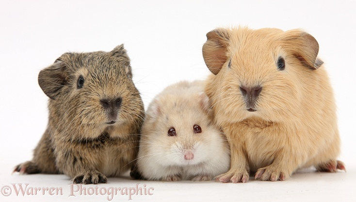 Baby Guinea pigs and Russian Hamster, white background