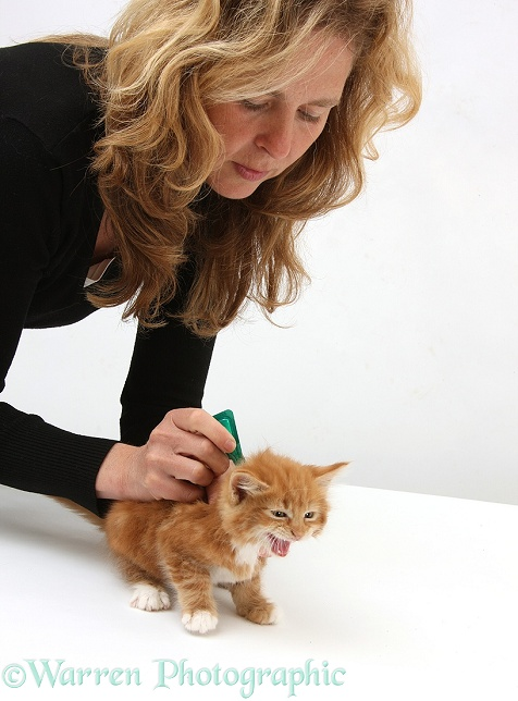 Applying spot-on flea treatment to ginger kitten, Butch, 8 weeks old, white background
