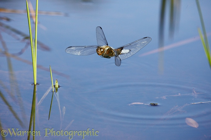 Broad-bodied Chaser Dragonfly (Libellula depressa) male hovering over a pond with newt surfacing for air
