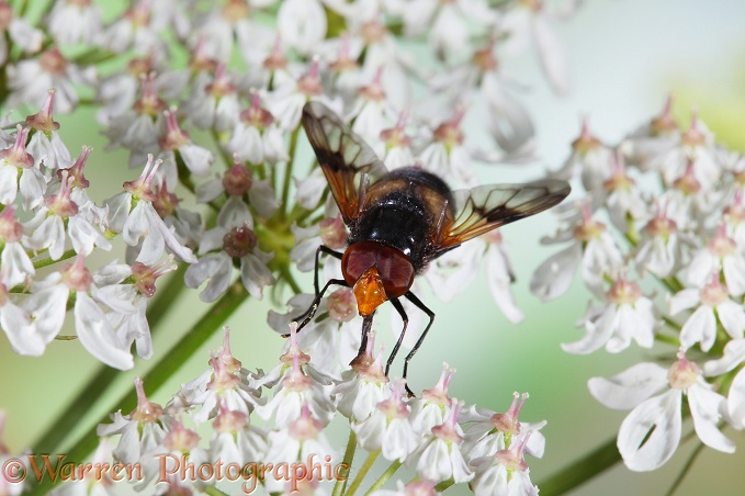 Volucella Hoverfly on hogweed