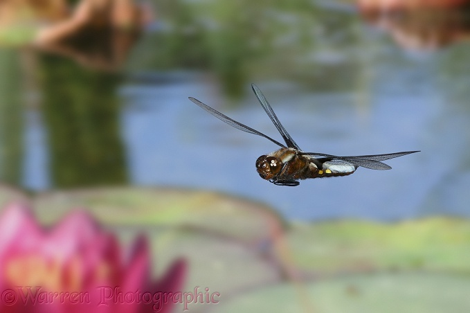 Broad-bodied Chaser Dragonfly (Libellula depressa) male flying over a pond