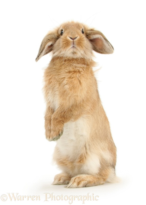 Sandy Lop rabbit sitting up on its haunches, white background