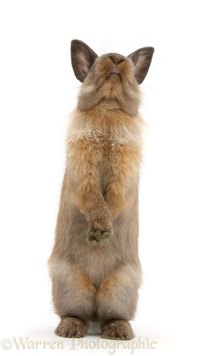 Lionhead-cross rabbit sitting up on its haunches, white background