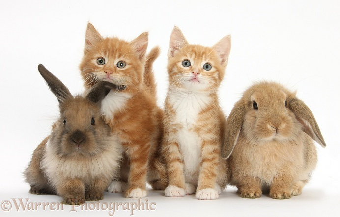 Ginger kittens, Tom and Butch, 7 weeks old, and young Lionhead-Lop rabbits, white background